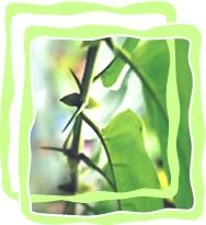 Одолень-трава из джунглей